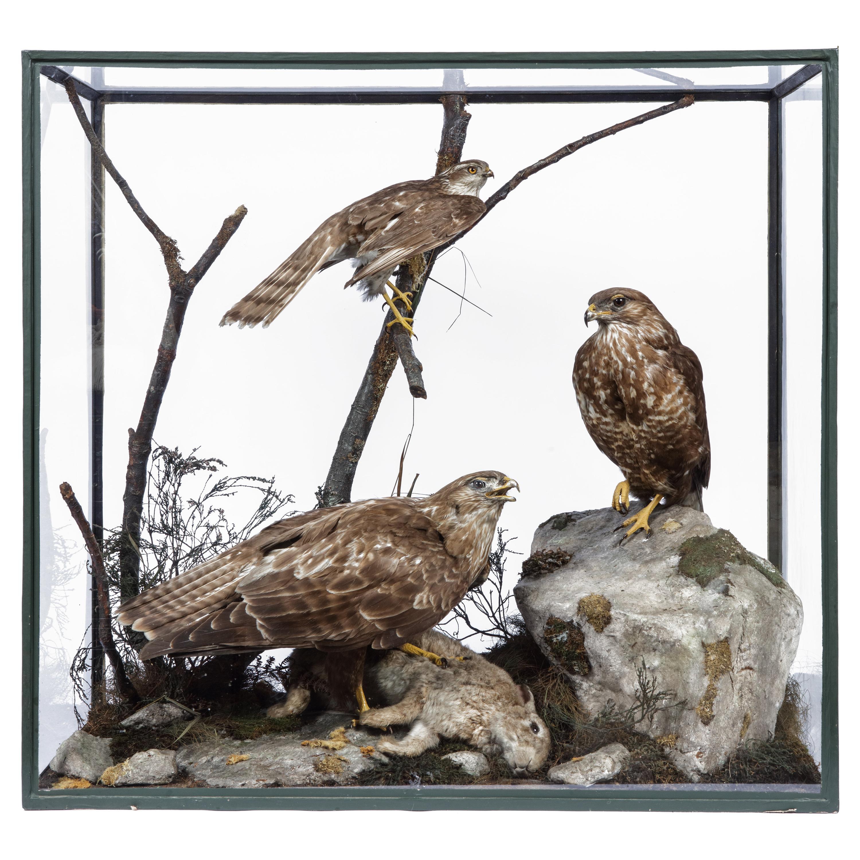 Victorian Taxidermy Buzzard and Sparrowhawk by Rowland Ward '1848-1912'