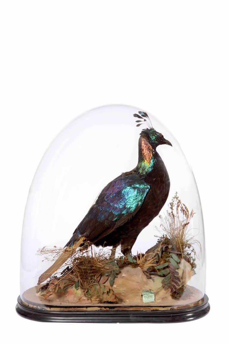 A Victorian taxidermy Himalaya Monal Pheasant (Lophophorus impejanus) by Edward Gerrard & Sons (act. 1853-1906)  ?  England, late 19th century     In perfect condition, the bird seated on rockwork, with label for Gerrard & Sons.    H.