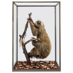 Victorian Taxidermy Linneaus' Two-Toed Sloth Attributed to Rowland Ward