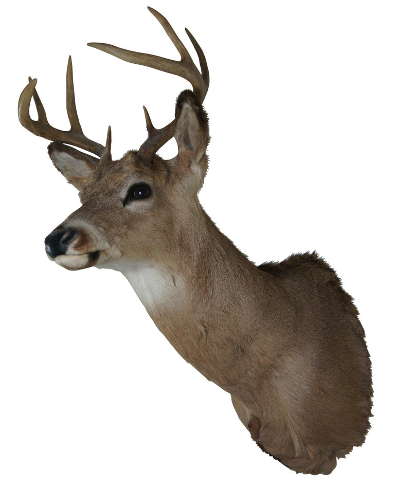 Vintage 8 point taxidermy deer head mount. Features eight point antlers and a nice coat. A well done piece of taxidermy in a nice pose and equally good condition. Mounted wood back, ready to be hung. Measure: 33