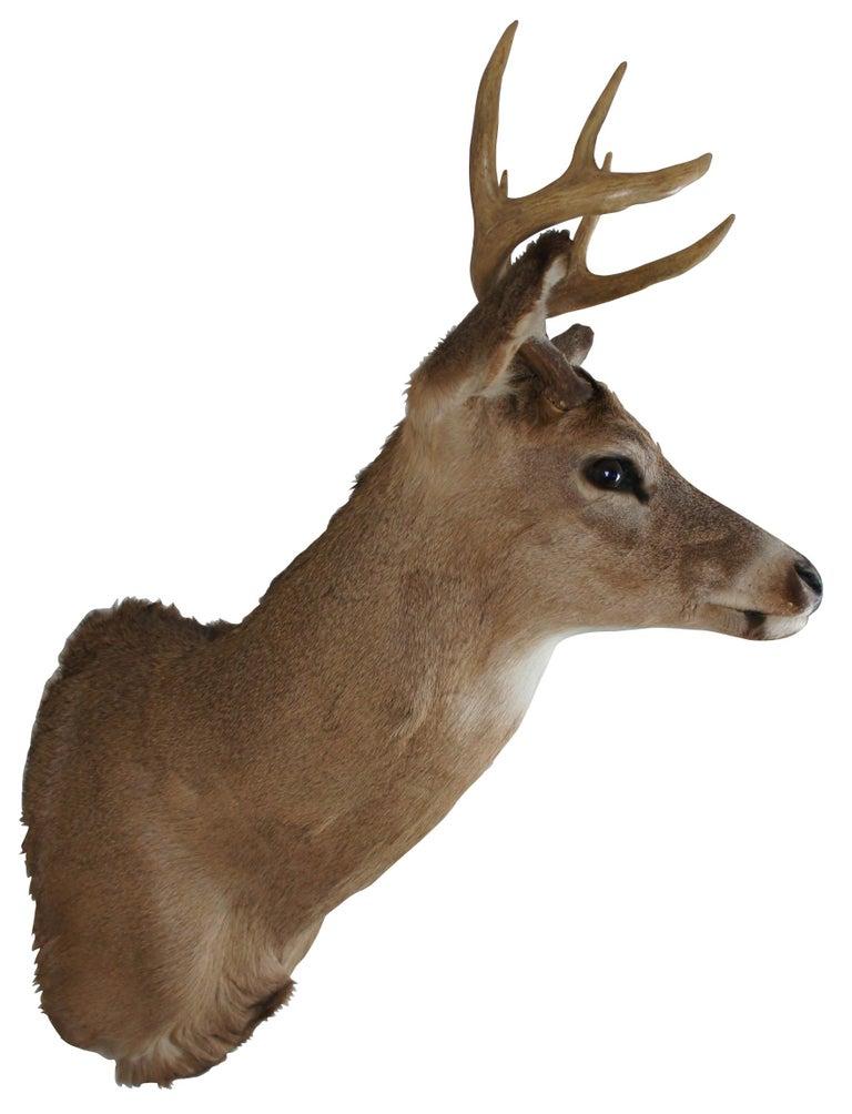 Rustic Vintage 8 Point Taxidermy Deer Head Trophy Mount Antlers Rack