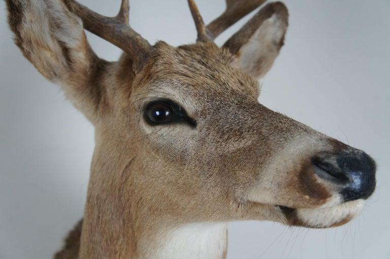 Vintage 8 Point Taxidermy Deer Head Trophy Mount Antlers Rack In Good Condition In Dayton, OH