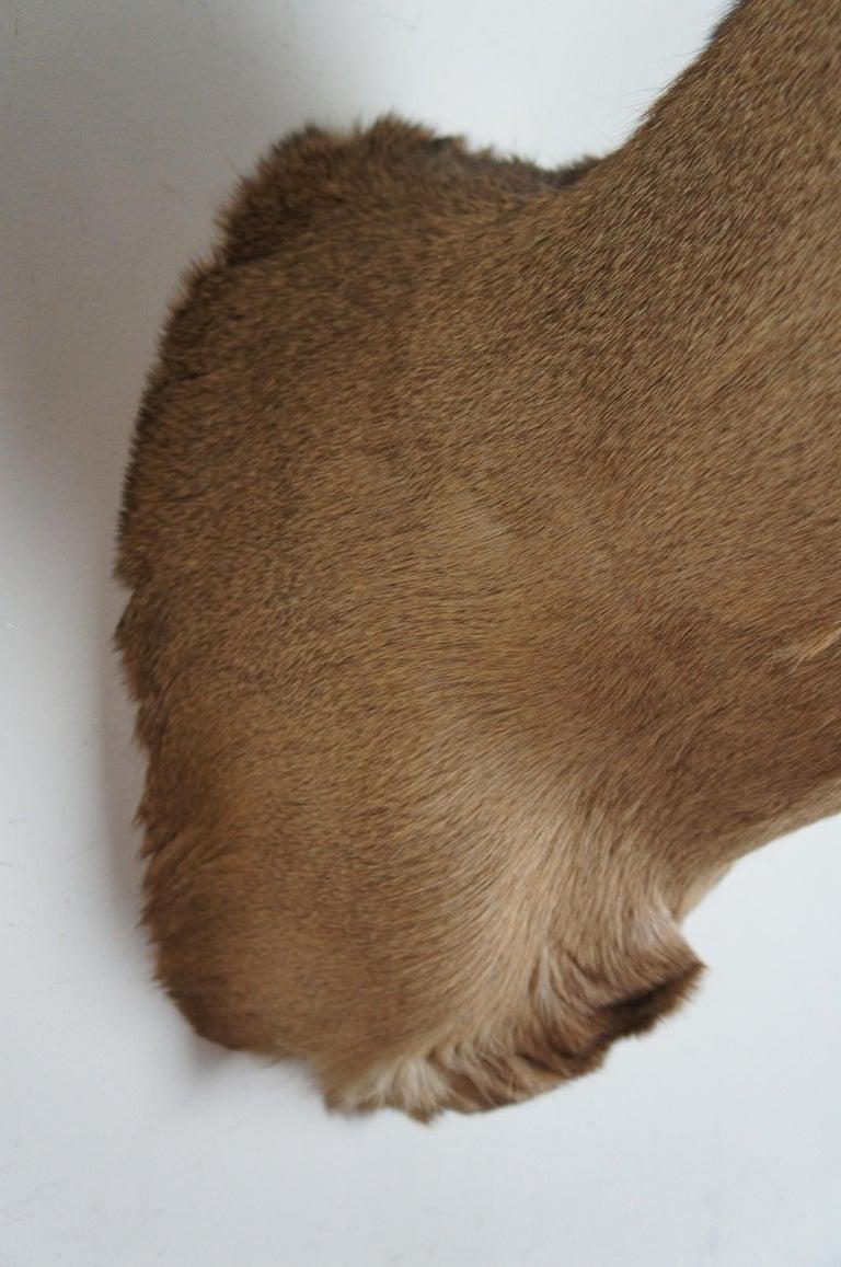 Vintage 8 Point Taxidermy Deer Head Trophy Mount Antlers Rack 3