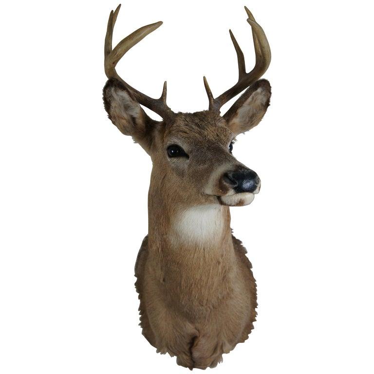 Vintage 8 Point Taxidermy Deer Head Trophy Mount Antlers Rack