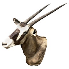 Vintage African Gemsbok Shoulder Mount Taxidermy Trophy
