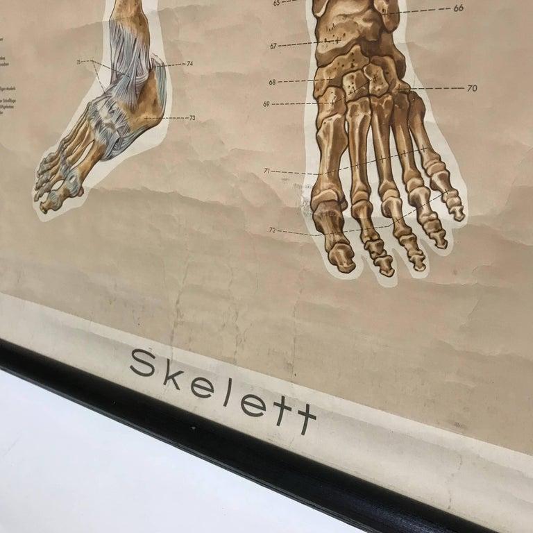 Vintage Anatomical Human Front Skeleton Structure Chart, 1961 ...