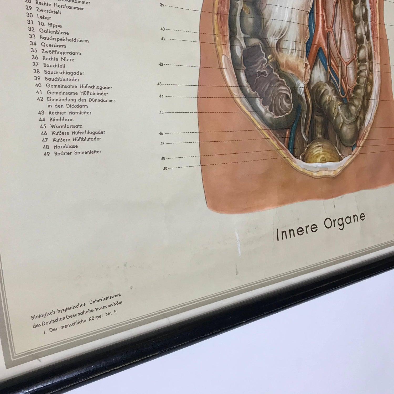 Vintage Anatomical Human Internal Organs Structure Chart, 1951 ...