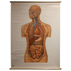 Vintage Anatomy Wall Chart of the Upper Body, circa 1960