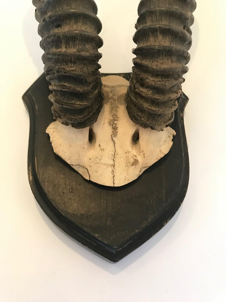 An attractive pair of vintage antelope antlers mounted on shield shaped plaque in a black finish.