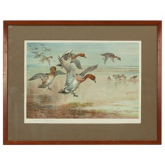 Vintage Archibald Thorburn Print, Widgeon Alighting, Hunting Print