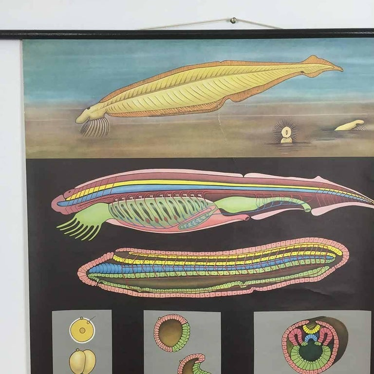 Vintage Biology Educational Pull Down Chart by Jung Koch Quentell, Germany, 1969 In Good Condition For Sale In Kirchlengern, DE