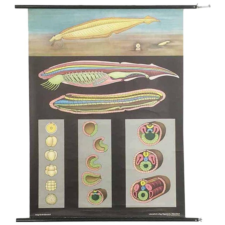 Vintage Biology Educational Pull Down Chart by Jung Koch Quentell, Germany, 1969 For Sale