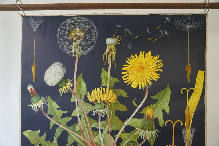 1960s canvas wall school chart, Pull down chart with beautiful illustration of a flower. It shows the details of the flower Taraxacum on a black background. This pull down map with a flower theme is printed on paper and backed with canvas. Published