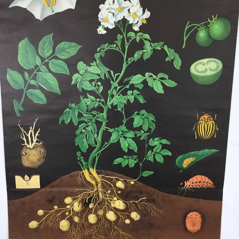 Vintage Botanical West German Biology Print Chart by Hagemann, Germany, 1960s In Good Condition For Sale In Kirchlengern, DE