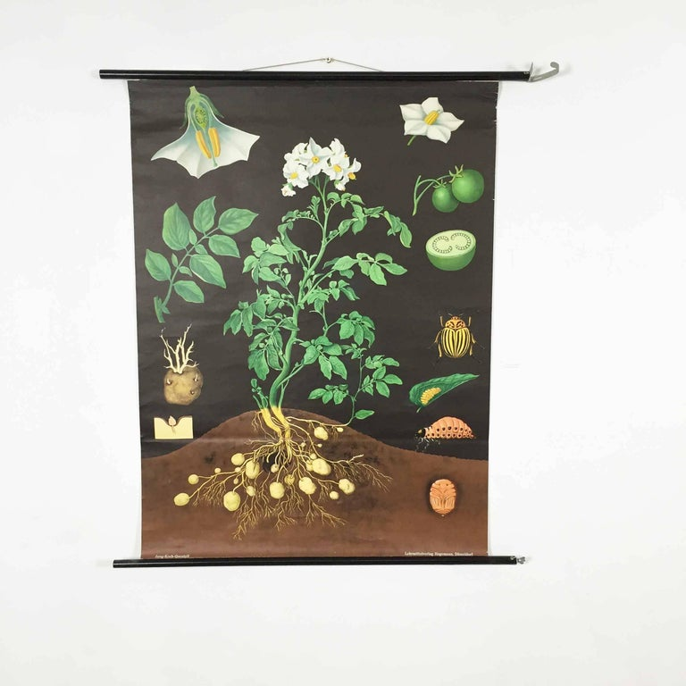 Vintage Botanical West German Biology Print Chart by Hagemann, Germany, 1960s For Sale 2