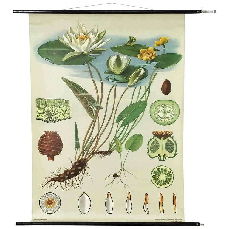 Vintage Botanical West German Biology Print