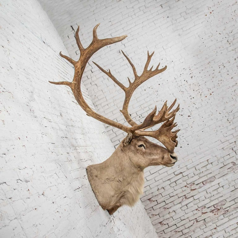 Handsome vintage caribou shoulder taxidermy mount Wonderful vintage condition with no outstanding flaws we have detected. It is vintage so does have signs of an older taxidermized piece. Please see photos, circa 1969  Note: Written on the back of