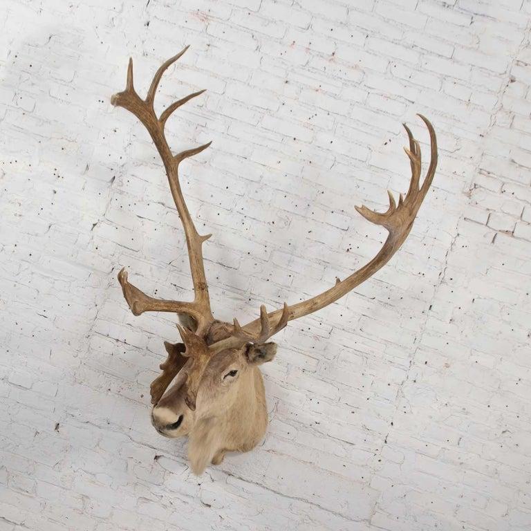 Rustic Vintage Caribou Shoulder Taxidermy Mount, 1969 For Sale