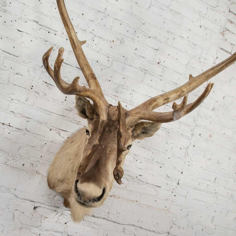 Vintage Caribou Shoulder Taxidermy Mount, 1969 In Good Condition For Sale In Topeka, KS