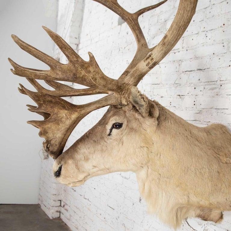 Horn Vintage Caribou Shoulder Taxidermy Mount, 1969 For Sale