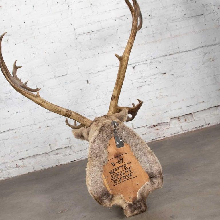 Vintage Caribou Shoulder Taxidermy Mount, 1969 For Sale 2