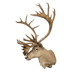 Vintage Caribou Shoulder Taxidermy Mount, 1969