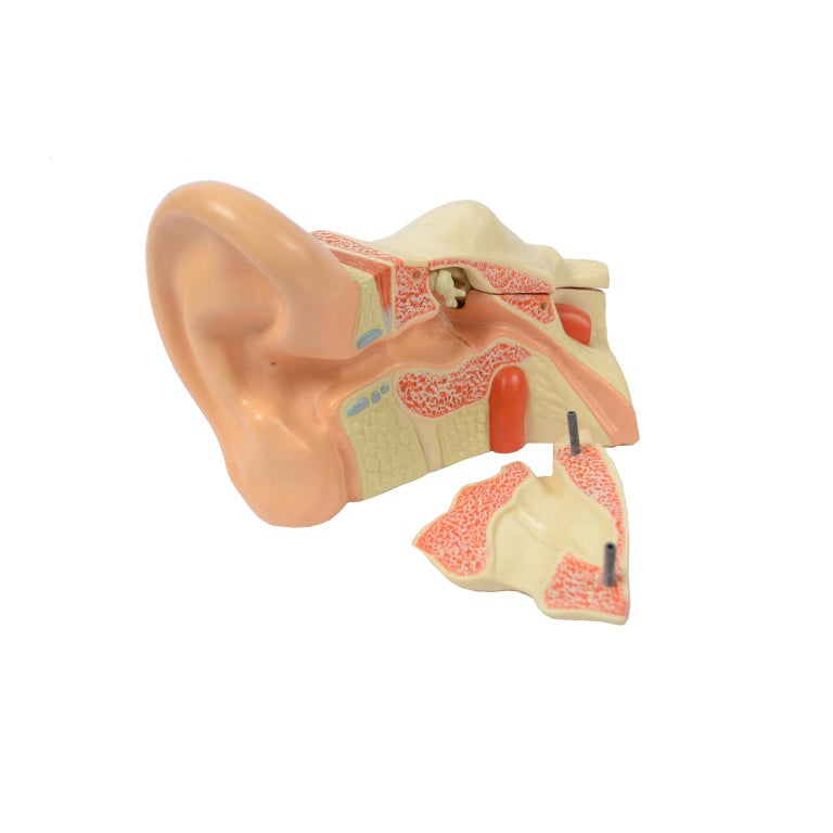 Vintage Didactic Anatomical Model of an Enlarged Human Ear, Germany, 1960s For Sale 6