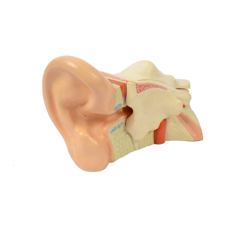 Vintage Didactic Anatomical Model of an Enlarged Human Ear, Germany, 1960s For Sale 3