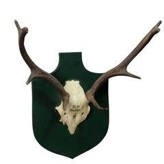 Vintage Fallow Deer Trophy from Spain