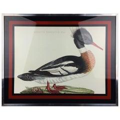 Vintage Duck Print Mergus Serrator, Aluminium Framed
