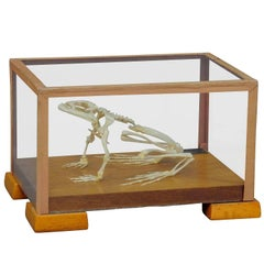 Vintage Frog Skeleton Model in Glass Showcase for Class, circa 1950