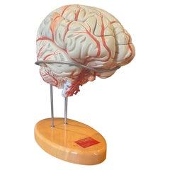 Vintage Hand-Painted Brain Model by Denoyer Geppert