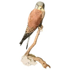 Vintage Italian Taxidermy Falcon