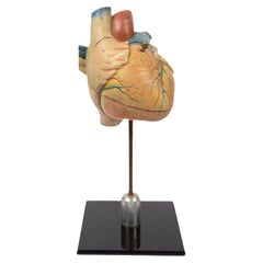 Vintage Medical Didactic Anatomical Model of a Small Heart, Germany, 1950s