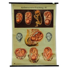 Vintage Medical Poster Pull Down Wall Chart about Ontogeny