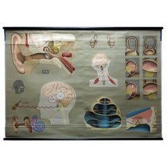 Vintage Medical Poster Rollable Wall Chart Ear Hearing Sense of Balance