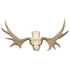 Vintage Pair of Elk, Moose Antlers on Scull