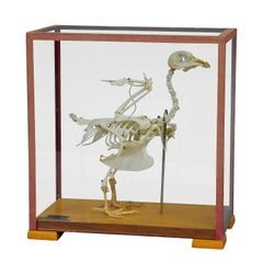 Vintage Pigeon Skeleton Model for Class, circa 1950