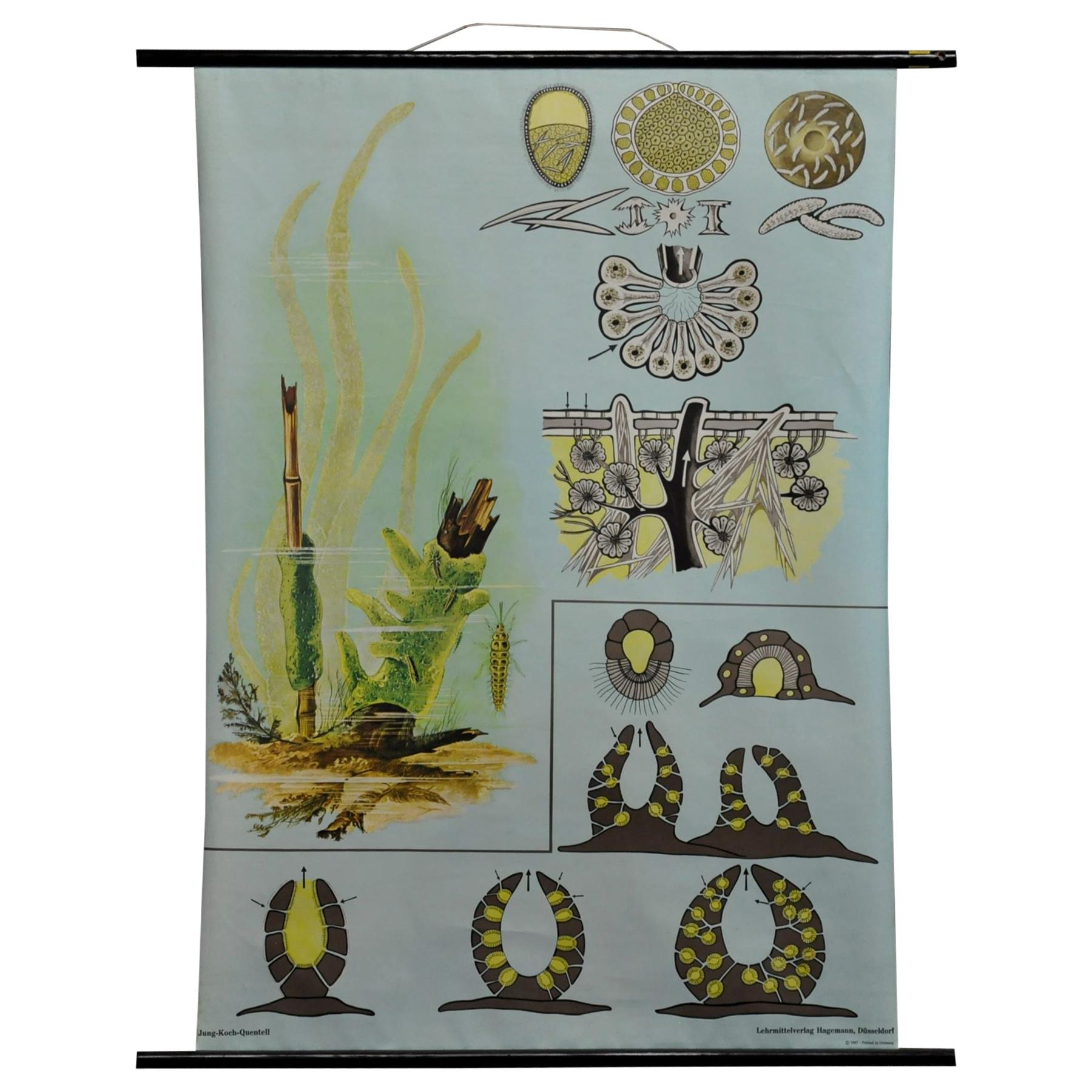 Vintage Poster Jung Koch Quentell Pull-Down Wall Chart Spongillidae