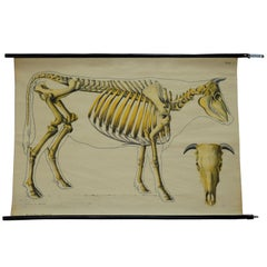 Vintage Poster Rollable Anatomical Wall Chart Skeleton of a Cow