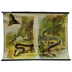Vintage Pull Down Wall Chart about the Adder / Grass Snake