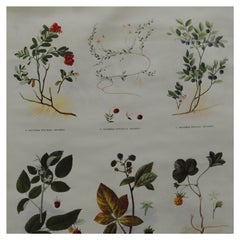 Vintage Pull-Down Wall Chart Colorful Crop Plants Botanical Overview