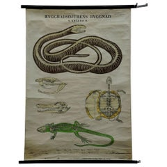 Vintage Pull-Down Wall Chart Skeleton of Reptiles Snake Lizard Turtle Crocodile