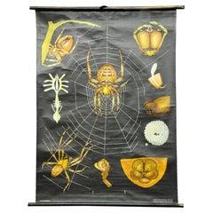 Vintage Rollable Jung Koch Quentell Wall Chart Cross Spider Araneus Marmoreus