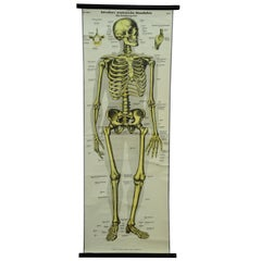 Vintage Rollable Wall Chart Anatomy Human Body Bone Structure