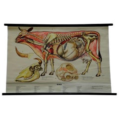 Vintage Rollable Wall Chart Cattle Medical Poster Print