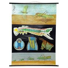 Vintage School Wall Chart Jung Koch Quentell Biology Animals Bush Cricket