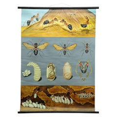 Vintage School Wall Chart Jung Koch Quentell Biology Animals Red Wood Ant