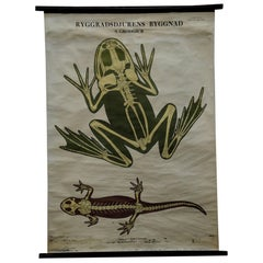 Vintage Swedisch Pull-Down Wall Chart Skeletons Anatomy of Amphibians