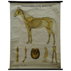 Vintage Swedish Pull-Down Wall Chart Anatomy of a Horse
